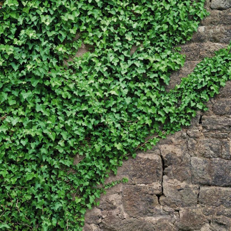 Фотопанно бумажное «Ivy» 184х254 см