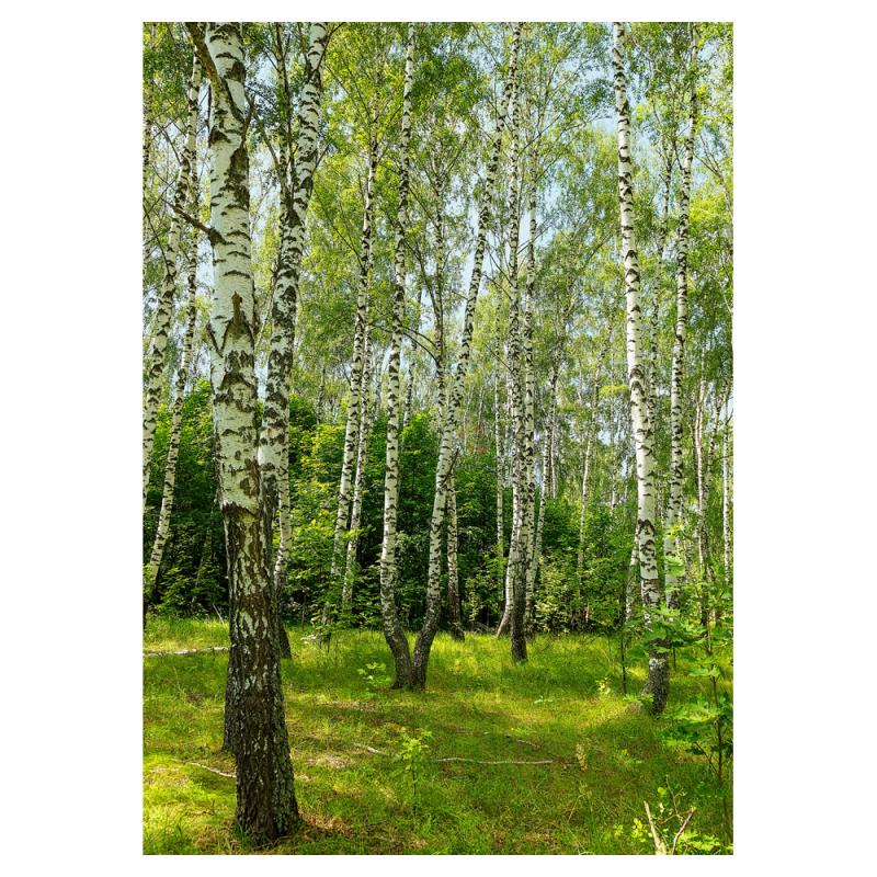 Фотообои флизелиновые «Березовая роща», 180х254 см