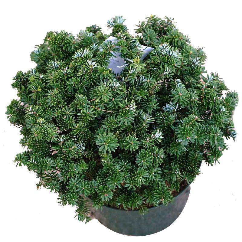 Пихта бальзамическая «Бриллиант», диаметр 25 см, высота 25-30 см