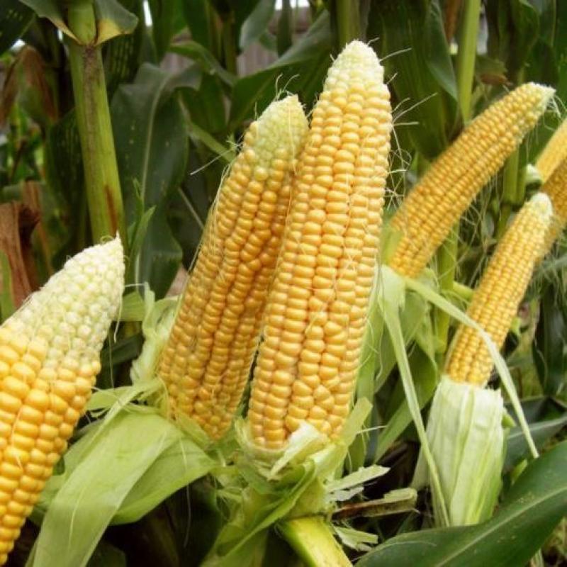 Кукуруза «Государь», 50 г